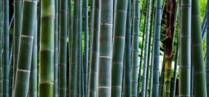 Chinese bamboo and secret of strong growth